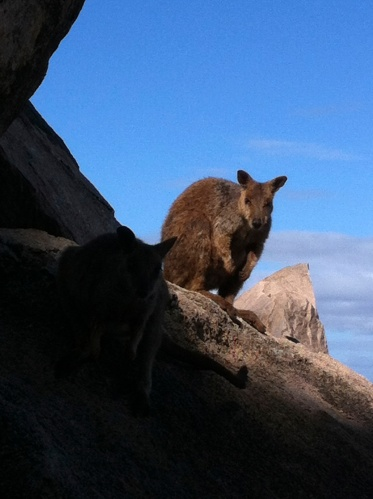 cheekey rock wallabies